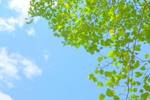 青い空と緑(プラタナス )