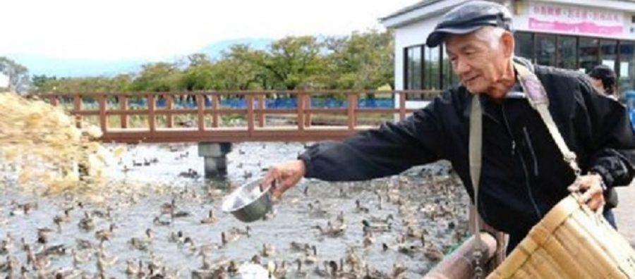 新潟・阿賀野市 瓢湖(白鳥)白鳥おじさんの餌付け時間・餌やり 2018活動