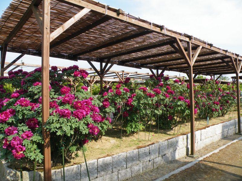 新潟県にある牡丹園(弥彦村)見頃はいつ?