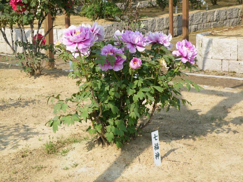 弥彦村の牡丹園2019年5月の画像