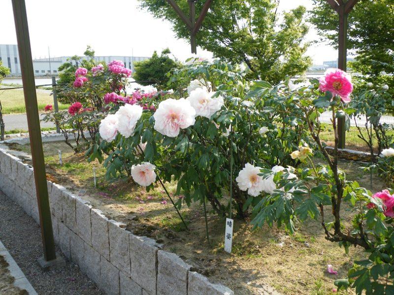 2019年の牡丹園・新潟・弥彦村