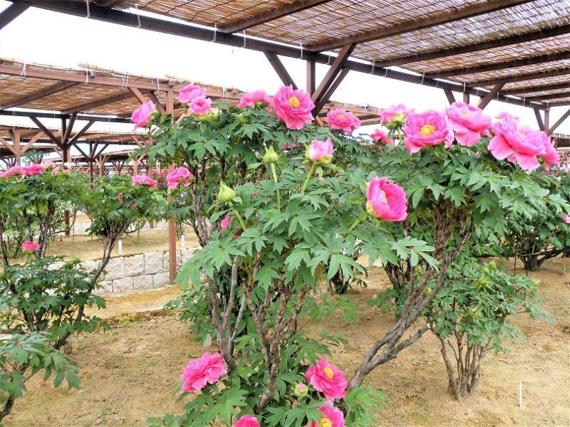 新潟県西蒲原郡弥彦村にある牡丹園 牡丹の状況 画像 2018年