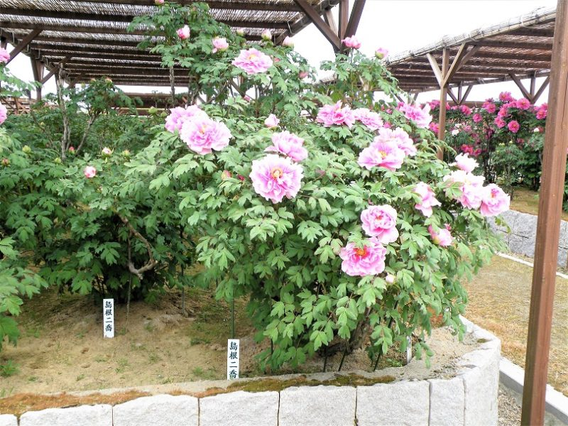 弥彦村にある牡丹園 お出かけスポット いいね!新潟