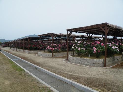 新潟県弥彦村 牡丹