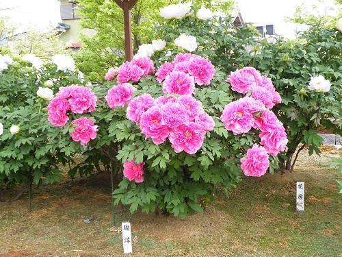 新潟県の牡丹が見られる所は?