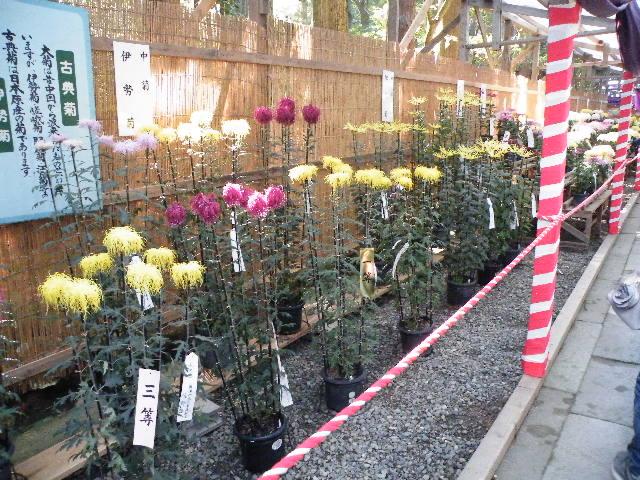 菊祭り2017 弥彦神社 11月3日 駐車場