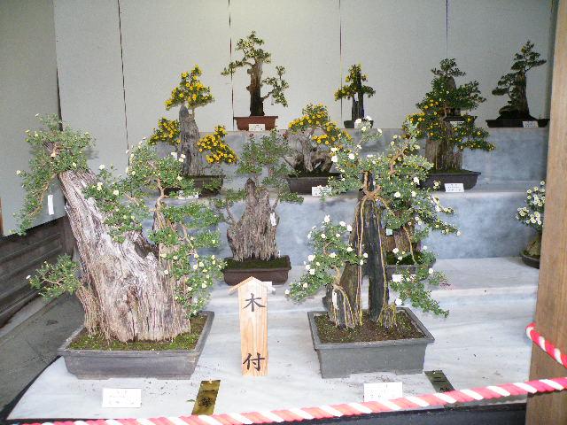弥彦神社 菊まつり 2017年 写真 風景