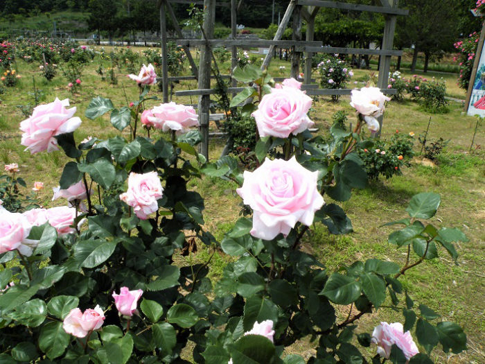 お杉ばら園 5月~6月見頃 写真 新潟県・新潟市西蒲区