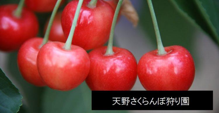 聖籠町さくらんぼ狩り観光農園 新潟県