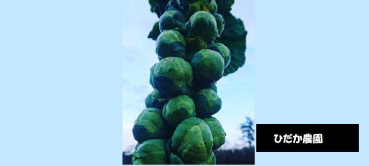ひだか農園 芽キャベツの販売・お問い合わせ 新潟市西区五十嵐