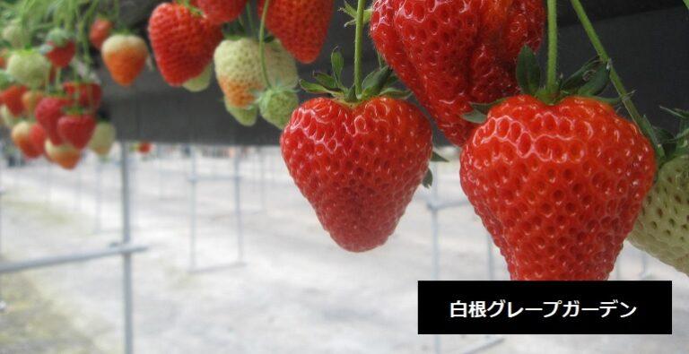 白根グレープガーデン フルーツ狩りができるフルーツ園 いちご狩り ぶどう狩り 新潟市南区