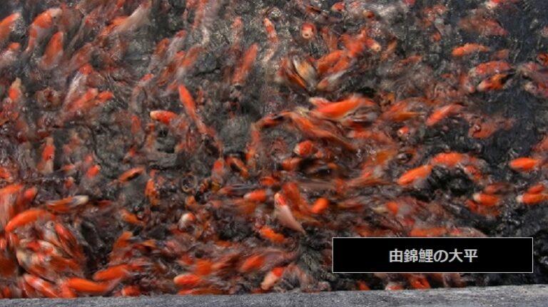 錦鯉生産組合 生産販売店 由錦鯉の大平 新潟県魚沼市